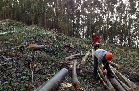 Trabajos de tala y saca en un monte dedicado a la producción de eucaliptos.