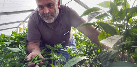 Antonio Martínez apaña los primeros pimientos en uno de los tres invernaderos de la explotación.