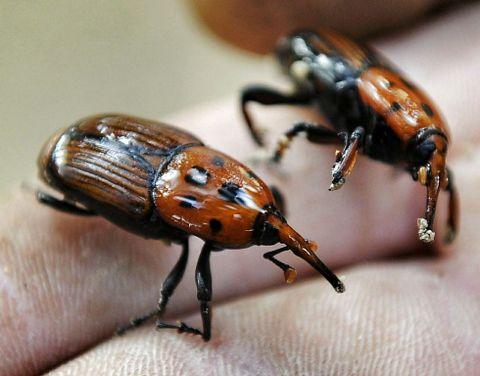 «Rhynchophorus ferrugineus».
