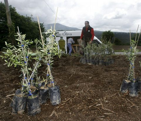 Plantación de olivos en la parroquia de Setecoros, similar a la que se hará en Pontevedra.