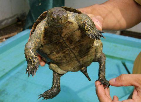 Un técnico del centro de recuperación muestra una tortuga.