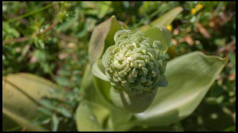 Flor de Himantoglossum hircinum
