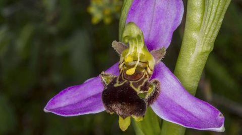 Flor de Oprhys apifera