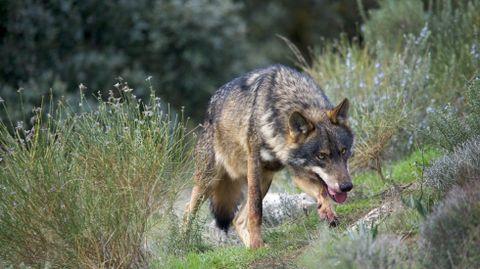 Un lobo ibérico