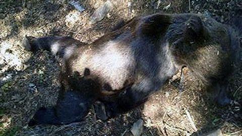 El osezno hallado muerto en un camino de Muniellos.El osezno hallado muerto en un camino de Muniellos