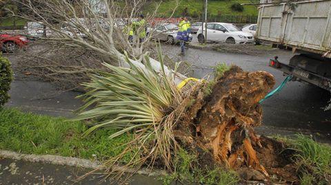 Árbol caído por el temporal en Caranza en Ferrol.