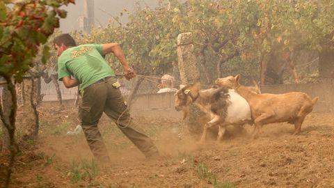 Un vecino trata de poner a salvo sus animales en la zona de Zamáns, en Vigo