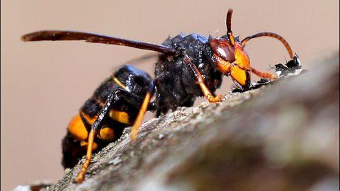 Una «vespa velutina», comunmente conocida como avispa asiatica
