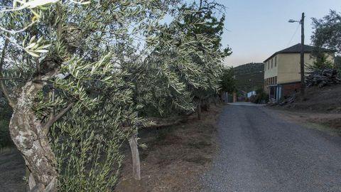 Ruta de Peites. Olivos en la entrada del pueblo