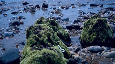 1. SESELLE. Las mareas vivas desvelaron por primera vez el bosque petreo de Mugardos hace veinte años. Datado en 4.300 años, es el más joven.