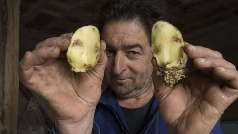 La detección de polilla de la patata en Muxía desata la alarma en toda la zona