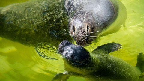 La foca Molly se baña con su criá en el zoo de Berlín
