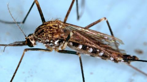 Un mosquito aedes japonicus