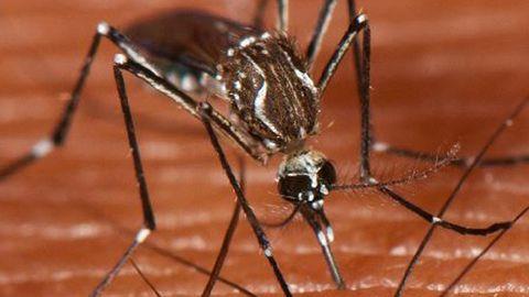 La tercera especie de mosquito más peligrosa localizada en España: el de la fiebre amarilla
