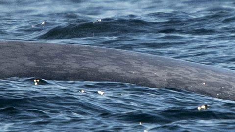 Detalle de la piel marmolada de la ballena azul
