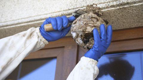 Así retiraron el nido de velutinas de Arteixo