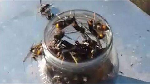 MIEL Y ALCOHOL EN BOTES ABIERTOS. Mueren hacinadas en el frasco, pero las abejas no se acercan a él al emplear el etílico.