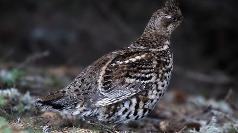Grévol, un ave extinta que se reintroducirá en España