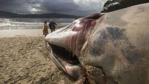 Es la segunda ballena que vara en los arenales de la Costa da Morte esta semana, tras la de Nemiña (Muxía).