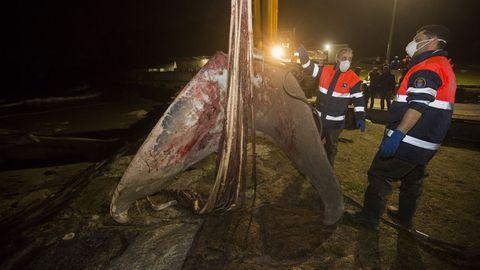 Ballena.Trabajos para la retirada de la ballena varada en Balarés, Ponteceso
