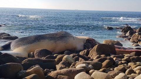 Ballenas.El biólogo Alfredo López del Coordinadora para el Estudio de los Mamíferos Marinos (CEMMA), informó que la ballena, una hembra de unas 30 toneladas de peso, llevaba unas 48 horas muerta