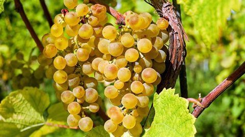 Vinos y uvas. Flavonoles. En el trabajo se estudiaron las uvas de albariño caíño blanco y loureiro, y el tinto de mencía. Su compuesto benéfico son los flavonoles, que son cardiosaludables y previenen la diabetes. Es antioxidante y antiinflamatorio.