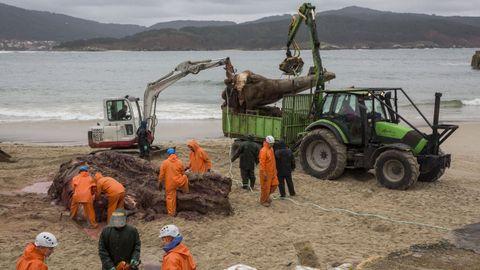 Un grupo de trabajadores retiran de la playa los restos de la ballena ayudados por una grúa