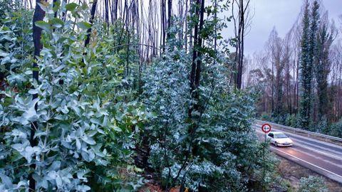 Rebrote de eucaliptos tras un incendio en Ponte Caldelas
