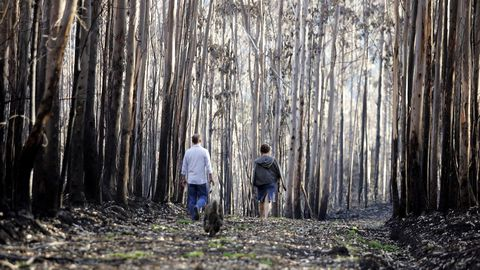 Imagen de una plantación quemada de eucaliptos
