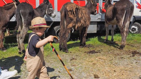 Un pequeño se pasea delante de un grupo de burros en la feria caballar