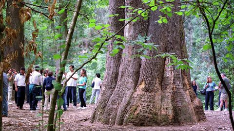 Souto da Retorta, en Viveiro, un bosque con árboles gigantes