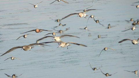 Espectacular visita de miles de aves migratorias a la ría de Avilés
