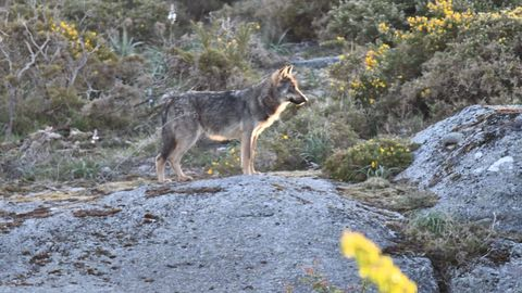 Imagen de archivo de un lobo en O Forgoselo
