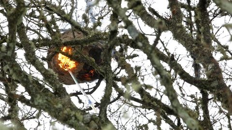 Destruccion de un nido de velutina mediante el método de cremación