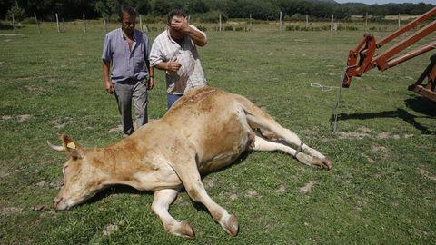 Ataque de perros a ganado en Vilar de Ulloa