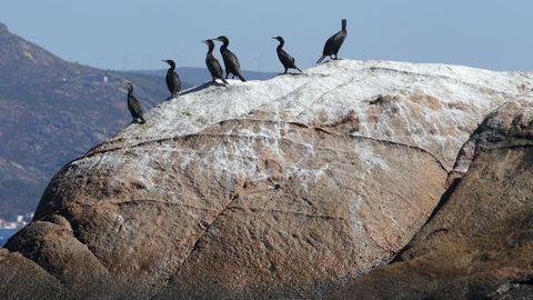 Cormoranes en una roca de la isla de Lobeira Grande. Son habituales en la zona