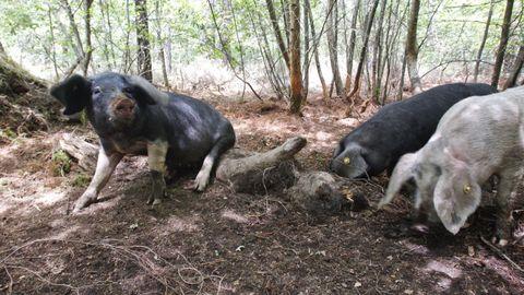 Imagen del monte comunal de Carballo, en Friol, donde los porcos celtas limpian el suelo