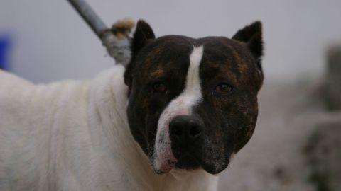 Foto de archivo de un perro de raza peligrosa