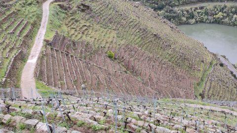 Viñas de Algueira situadas en la ribera de Doade en las que se recuperó la cava tradicional