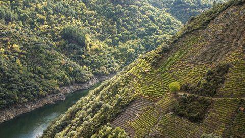 De esta ladera del Sil sale el vino Finca Capeliños, de Adega Guímaro, uno de los destacados por Gilman