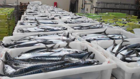 Xarda en la lonja de Burela, referente de Galicia y del Cantábrico en esa pesqueria