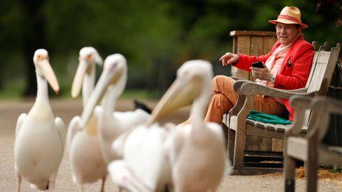 Un hombre observa a un grupo de pelícanos en un parque londinense