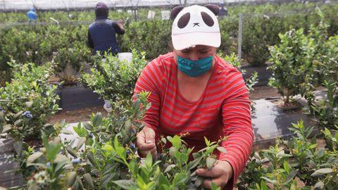 Recolectores de bayas mexicanos utilizan mascarillas de protección