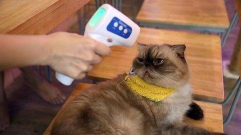 Control de la temperatura a un gato en el café Caturday Cat de Bangkok