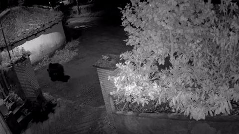 Una cámara de seguridad capta un oso en Bimea, Cangas de Narcea