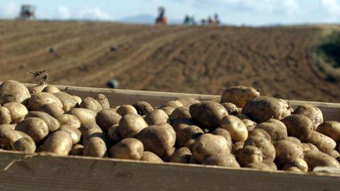 Patatas de variedad agria