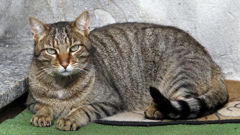 Un gato doméstico en un hogar de Viveiro