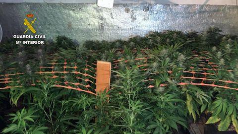 La Guardia Civil incauta 364 plantas de marihuana en Nava