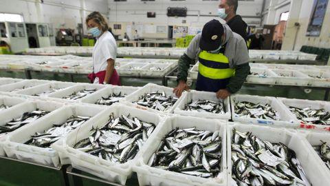 Sardinas en una lonja arousana, el año pasado, para el san Juan, temporada alta en la demanda de ese pescado azul