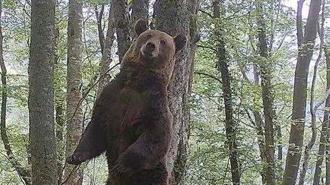 Fapas estudia el comportamiento del oso pardo
